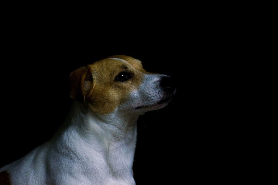 Dog Pets One Animal Animal Animal Themes Animal Head  Loveanimals Jackrussell Jack Russell Domestic Animals Dogs Life Dogs Of EyeEm EyeEmNewHere Be. Ready. Be. Ready.