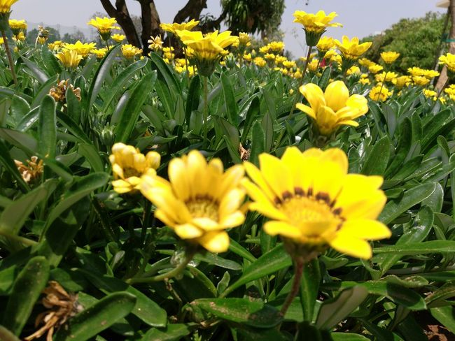 I-Net Photography EyeEmNewHere Flower Head Flower Yellow Petal Sunflower Field Leaf Close-up Sky Plant Black-eyed Susan Blossom In Bloom Wildflower Stamen Uncultivated Dandelion Pistil Apple Blossom Dandelion Seed Hibiscus Focus Pollen Cherry Blossom Daffodil Lily Crocus Plant Life Botany