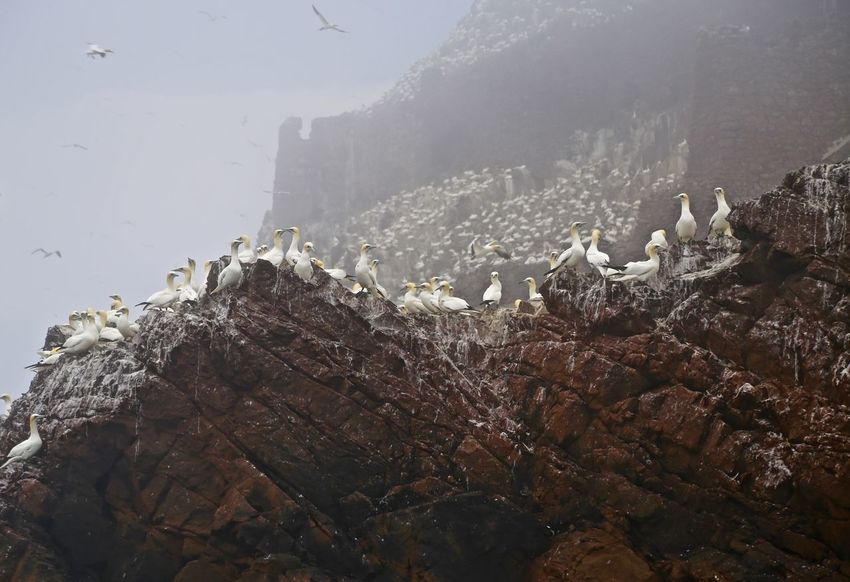 Bass Rock Gannet Colony. Beauty In Nature Cold Temperature Gannets Geology Nature Power In Nature Rock - Object Rock Formation Sea Sky Water