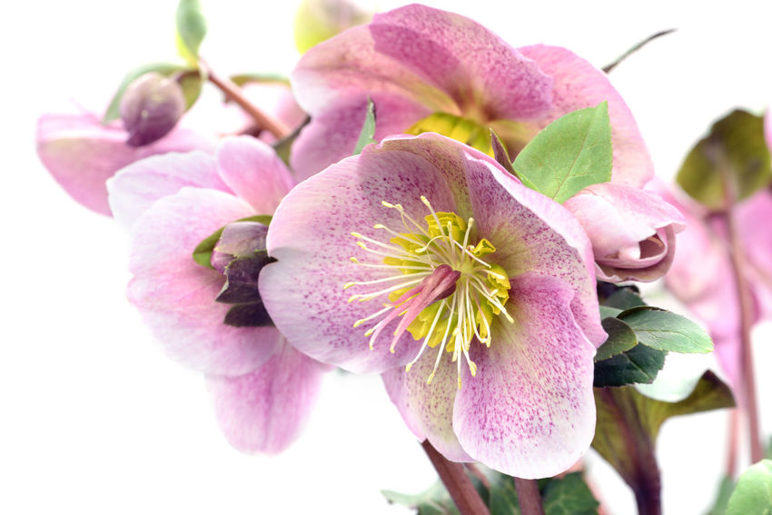 pink dotted hellebore flower on white background. Hellebores Helleborus Helleborus Foetidus Helleborus Niger Blooming Close-up Flower Flower Head Growth Hellebore Nature Petal Pink Color Plant Springtime
