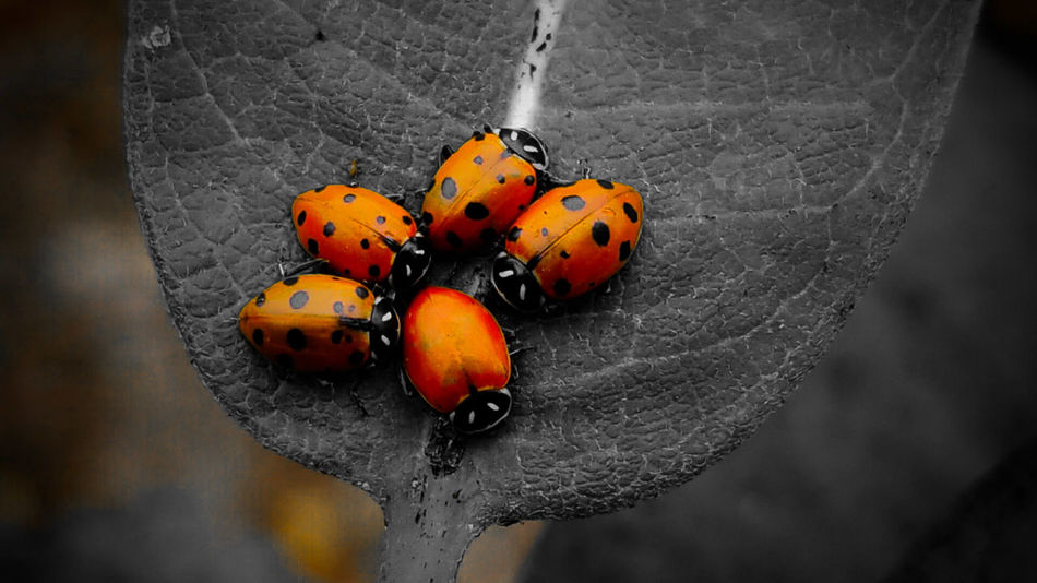 Insect Ladybug Animals In The Wild Close-up Animal Themes No People Red Outdoors Day Nature Red Summer The Week On EyeEm Leaf Plant Hanging Out With Friends The Great Outdoors - 2018 EyeEm Awards The Creative - 2018 EyeEm Awards Autumn Mood