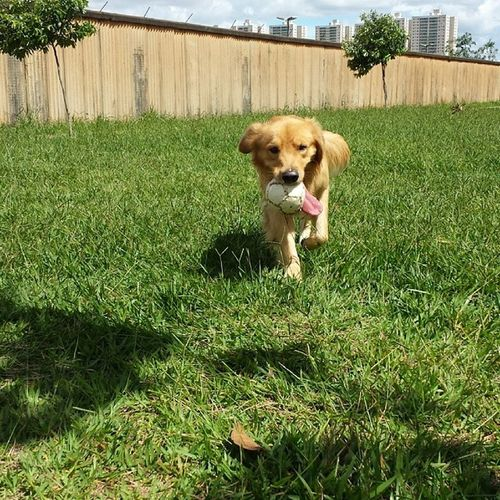 Peguei a bola Golden_retrieverbrasil Golden Dog Retriever ball happy photo pet doglovers joke cute loveofdog picoftheday dogoftheday goldencontro jj instapet instadog