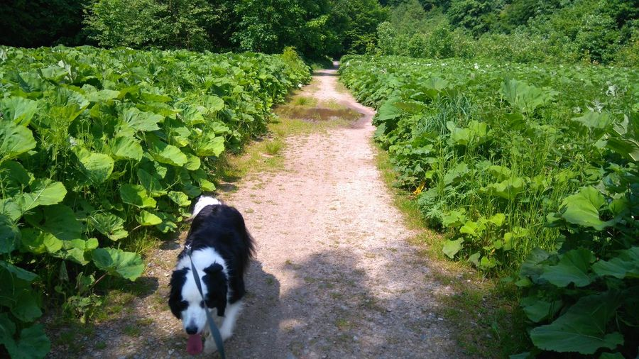 Dog Pies Border Collie Burdock łopian Path Forrest Las Dolina Racławki Poland Polska Nature The Great Outdoors - 2016 EyeEm Awards Adventure Club