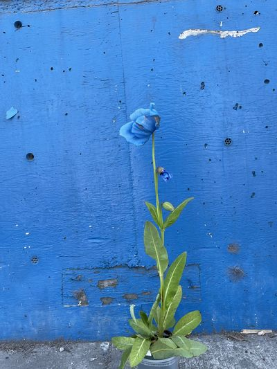 Close-up of plant against blue wall