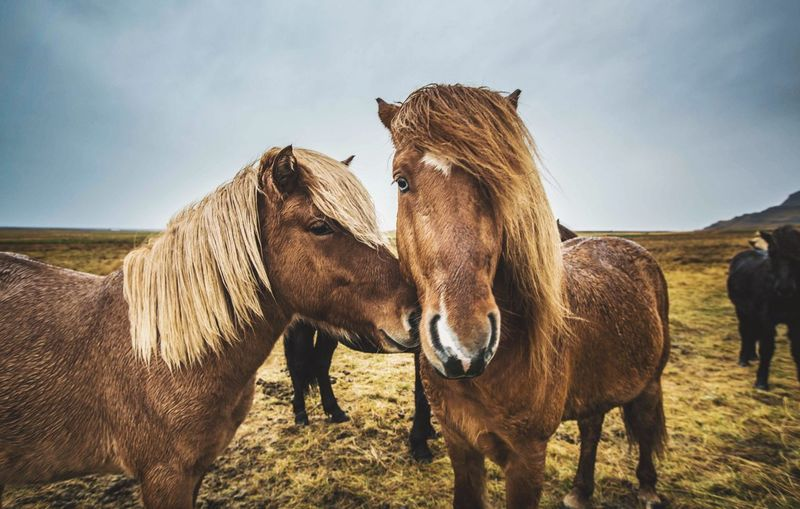 Real emo love Horse Iceland Nature Landscape Portrait Naturephotography Emo Love Wildlife Wildlife Photography First Eyeem Photo