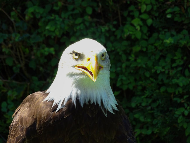 American Eagle Bald Eagle Bald Eagle Portrait Animal Head  Animal Themes Animal Wildlife Animals In The Wild Bald Eagle Bald Eagle Close-up Bald Eagles Beak Bird Bird Of Prey Close-up Day Eagle - Bird Focus On Foreground Nature No People One Animal Outdoors White Color Wildlife