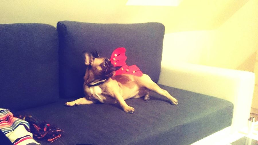 Frenchbulldog This Is Mei Queen👑Mei Prague Czech Republic Celebration Event Dog Time  EyeEm Selects Pets Living Room Dog Sofa Cute French Bulldog Pet Clothing