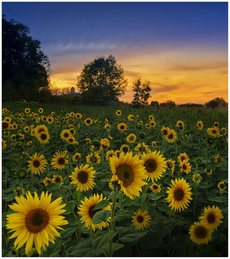 blooming at the castle Auto Post Production Filter Beauty In Nature Field Flower Flower Head Flowerbed Flowering Plant Fragility Freshness Growth Land Landscape Nature No People Outdoors Plant Pollen Sky Sunflower Sunset Tranquil Scene Tranquility Transfer Print Vulnerability  Yellow