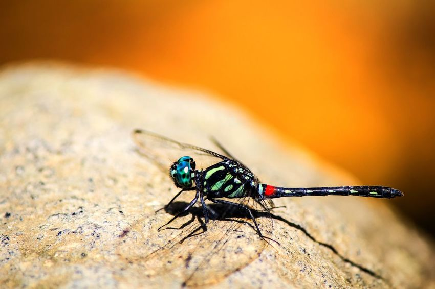 Dragonfly Animal Themes Animals In The Wild Close-up Day Insect Nature No People One Animal Outdoors