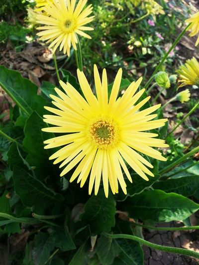 Flower Flower Head Yellow Nature Close-up No People Outdoors Growth Freshness Beauty In Nature Yellow Flower Niceview Egypt ❤