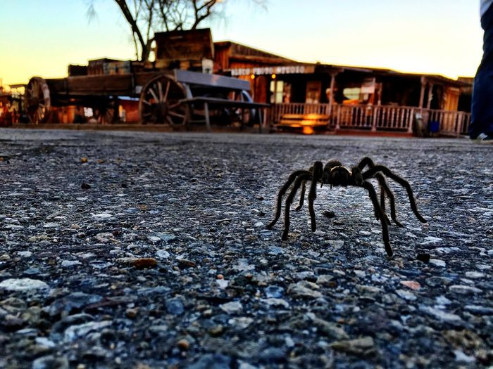 I was lucky enough to encounter this tarantula going for a late afternoon stroll down the main drag. Calico ghost town, Calico, CA, 2015