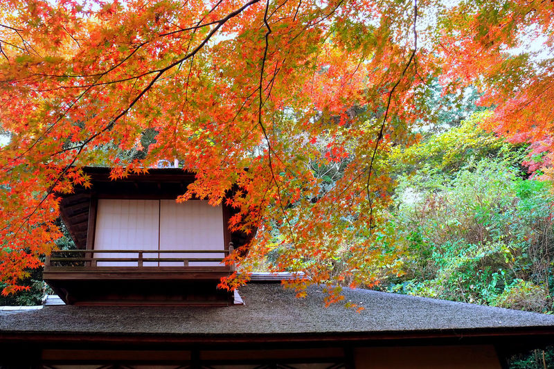 Autumnal tints and Choshukaku Traditional Architectural Architecture Autumn Beauty In Nature Building Exterior Built Structure Day Leaf Nature No People Outdoors Relaxing Styles In Japan Tree