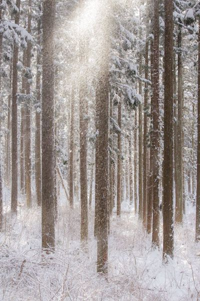Winter Winter Snow Forest Nature No People Pine Tree Tree Day Outdoors Beauty In Nature