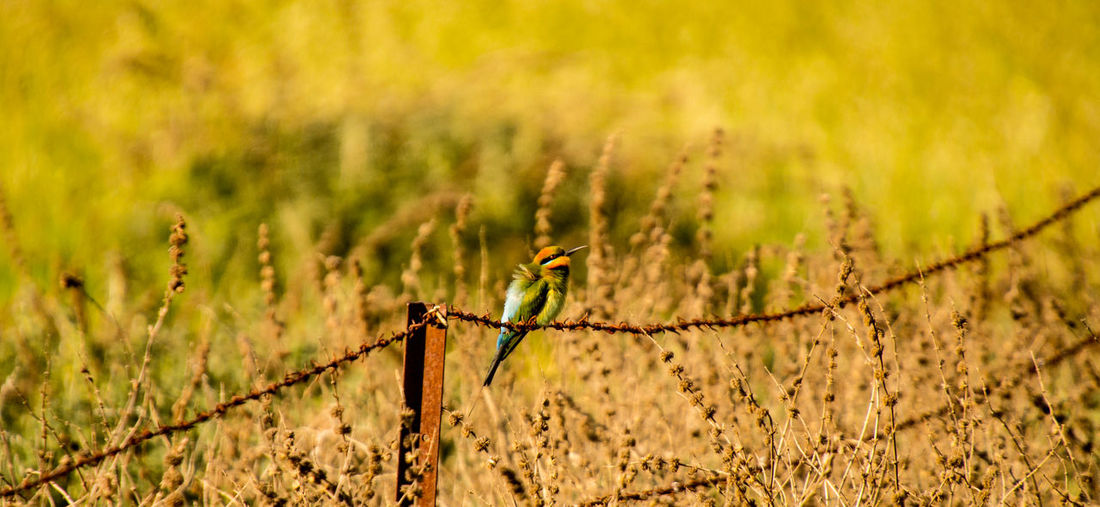 Rainbow bee eater (Merops ornatus) Animals In The Wild Beautiful Animals  Feathers Animal Themes Animal Wildlife Animals In The Wild Bee Eater Close-up Colourful Birds Day Focus On Foreground Green Color Nature No People One Animal Outdoors Plant Rainbow Bee Eater Sony Photography Wildlife