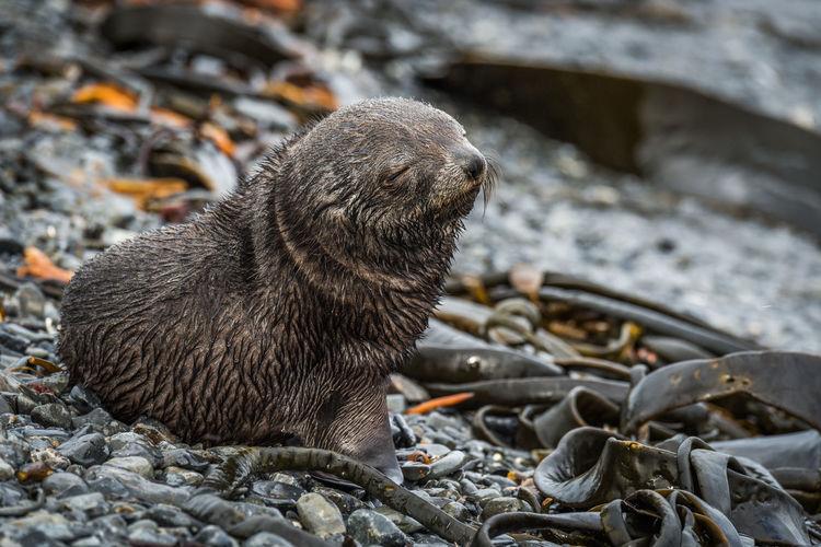 Close-up of seal pup at beach