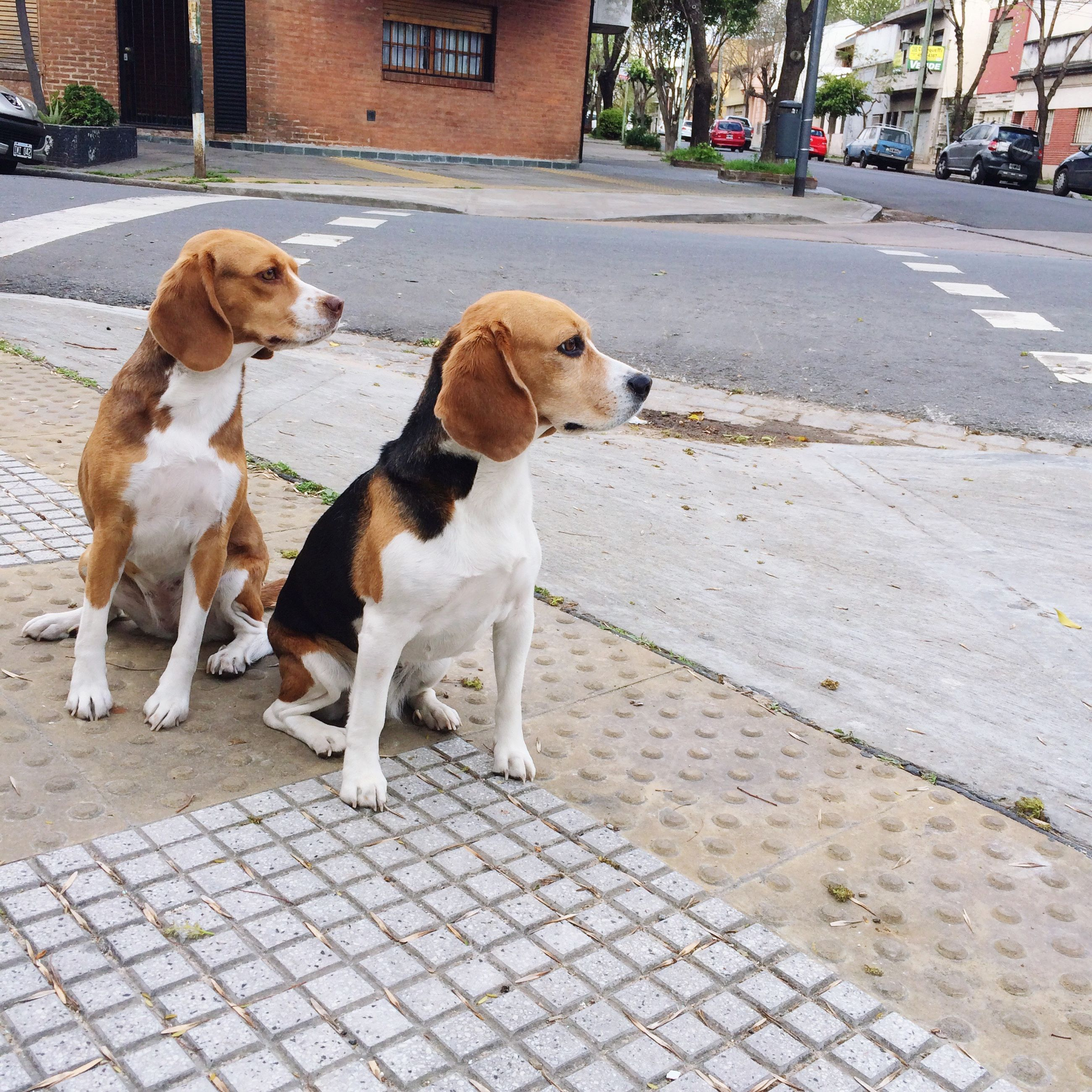dog, domestic animals, animal themes, pets, mammal, two animals, street, city, building exterior, standing, transportation, architecture, day, outdoors, city life, footpath