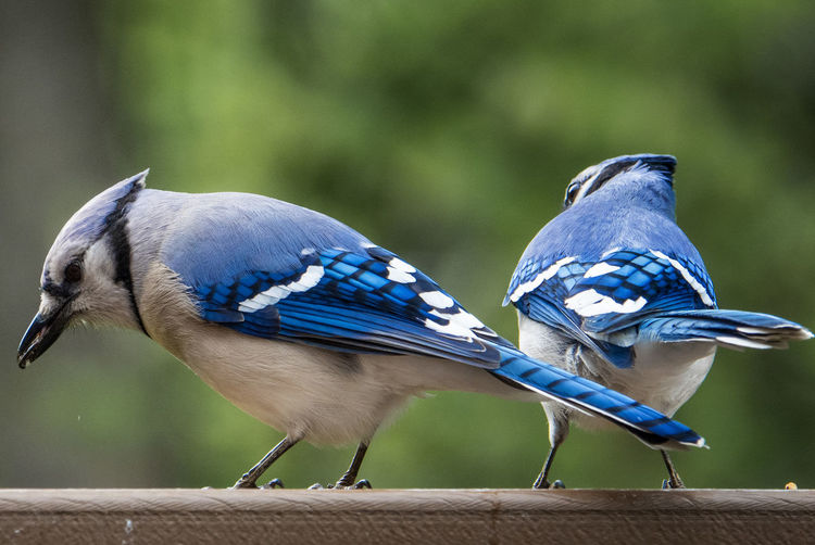 Looking away Animal Themes Animal Wildlife Animal Bird Animals In The Wild Blue Perching Group Of Animals Two Animals Outdoors Wood - Material Looks Away Ignoring Each Other Two Birds At Once Blue Jay