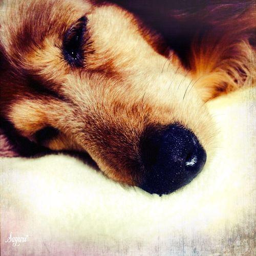 おやすみ。 Dog Mypet Dachshund Photography Japan Photography Cute