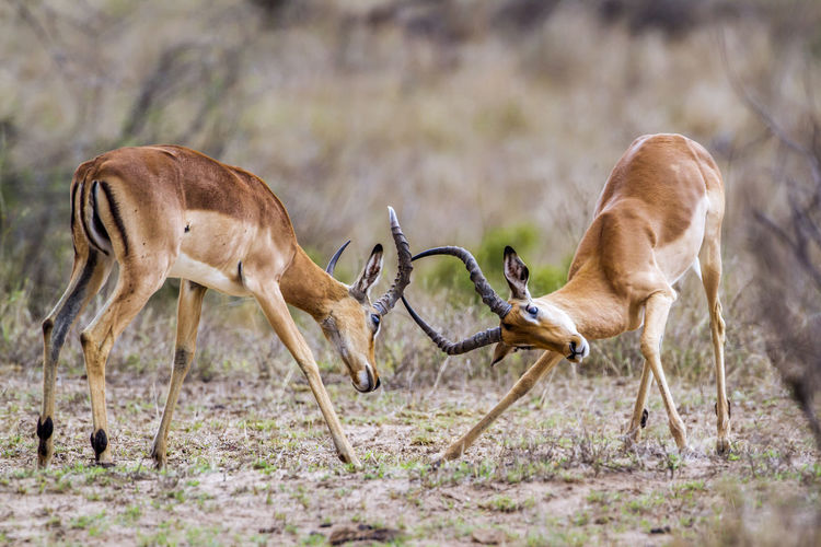 Antelopes fighting on field at national park