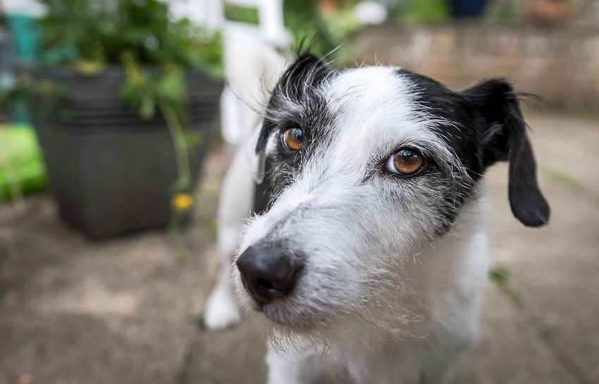 Eyebrows Dog Domestic Animals Pets Mammal Animal Themes Focus On Foreground One Animal Outdoors Day Portrait Looking At Camera No People Close-up Nature Jackrussell Pet Photography  Dogs Of EyeEm Pets Corner Pet Portraits
