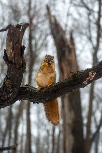 Squirrel Fluffy