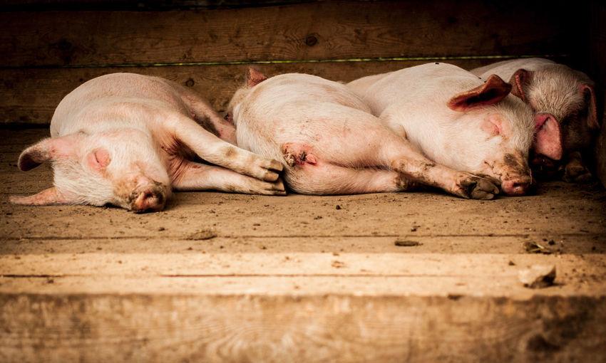 Pigs relaxing wooden floor