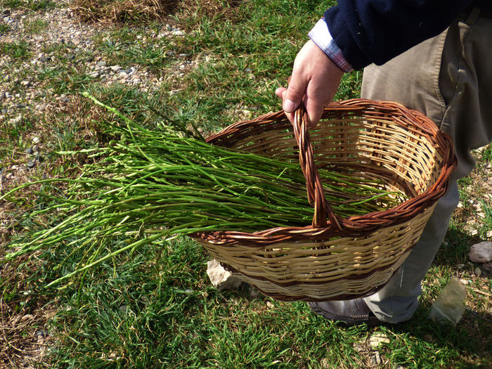 Low section of man holding basket with asparagus while standing on field