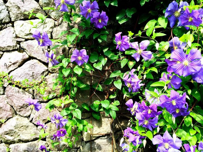 Flowers Flower Collection Flowers,Plants & Garden Sissi'sGardens Oldphoto Sunny Afternoon Photooftheday Happy Colors Violet Violet Flowers Photography Happiness Colourful Beautiful Colors Beautiful Nature Finally Spring Primavera Primavera2016 Spring2016