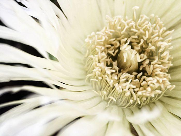 Beauty In Nature Close-up Flower Full Frame IPS2016White Macro Nature Single Flower White