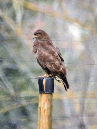 a zoom background Alertness Animals In The Wild Bird Bird Of Prey Bird Photography Birds Of EyeEm  Birds Of Prey Focus On Foreground Low Angle View Low Quality Lens Low Quality Photo Nikon P900 Nikonphotography Old-fashioned One Animal Perching Safety Well Done  Wildlife