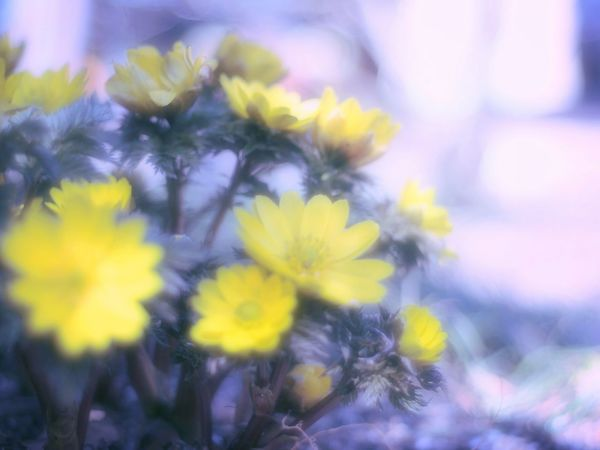 Pastel Power Relaxing Dreamfantasy Airy Flowers Airy Spring Fleshyplants Spring Colours EyeEm Flower EyeEm Nature Lover Flowers Spring Time Flower Collection Bokeheffect Colors Bokeh Takumar