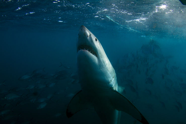 Great White Shark Diving Jaws SCUBA Shark Attack South Australia Strike Swimming Aggressive Attack Bucket List Cage Cage Diving Close-up Curious Great Great White Shark Pointer Scary Shark Sharks Teeth Underwater Upright White Wild