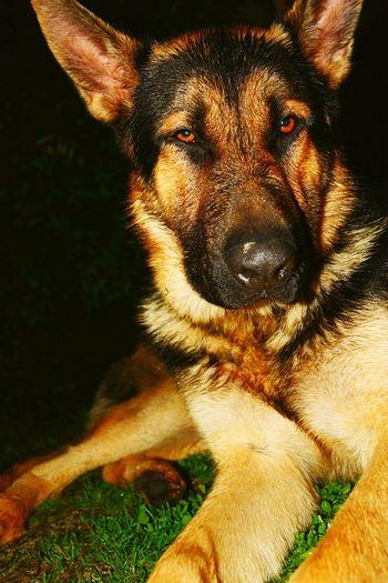 🌀 My Germán Shepherd One Animal Domestic Animals Dog Pets Young Animal Looking At Camera Animal Nose Germanshepherdlovers