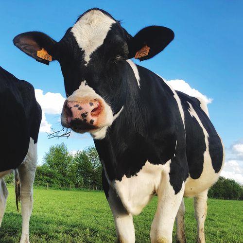 Mammal Animal Animal Themes Domestic Animals Pets Domestic Vertebrate Grass Cow Cattle Livestock Field