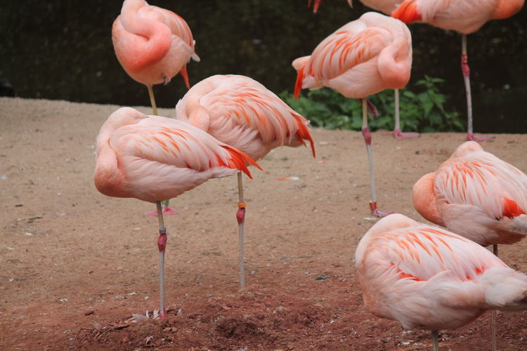 Flamingoes on field