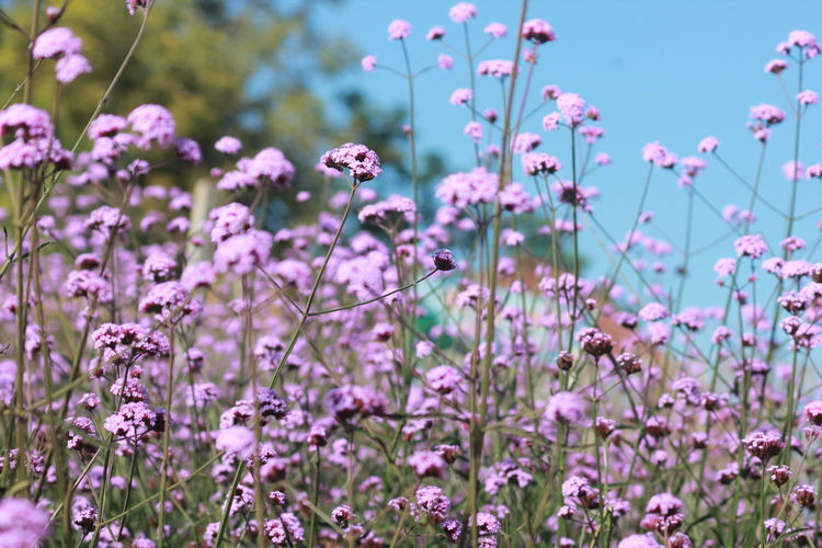 Close-up of verbena flower on field