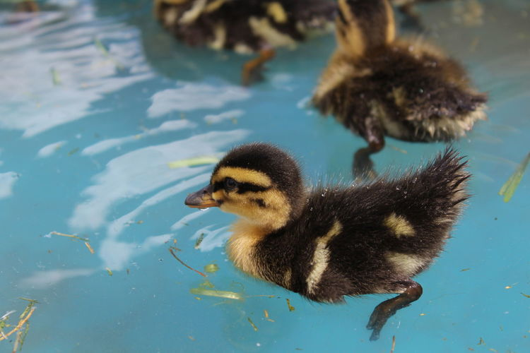 Animal Themes Animal Wildlife Animals In The Wild Baby Animals Bird Close-up Day Duck Duckling Nature No People Outdoors Swimming Water