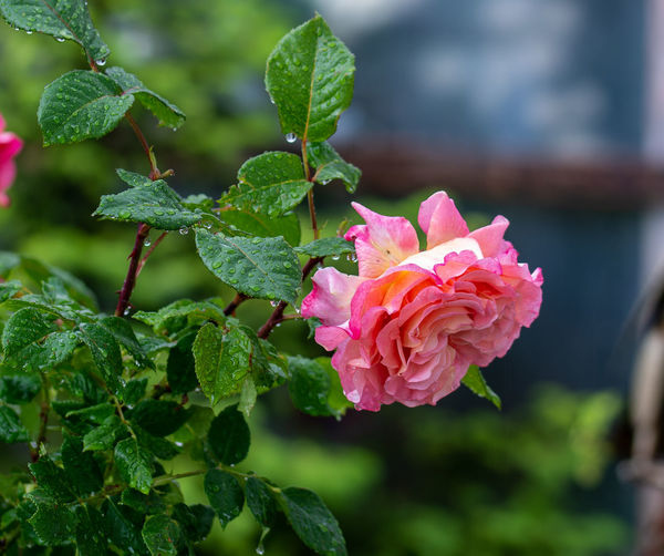 Close-up of pink rose on plant