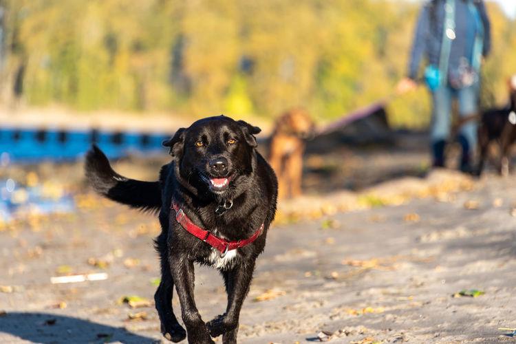 Black dog running