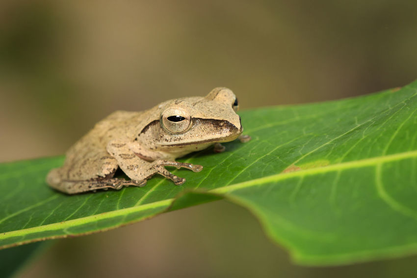 Image of Common Tree Frog (Polypedates leucomystax) on the green leaf. Amphibian., Animal. Frog Polypedates Leucomystax Animal Animal Themes Animal Wildlife Animals In The Wild Brown Frog Close-up Day Green Color Leaf Lovely Nature No People One Animal Outdoors Plant Reptile