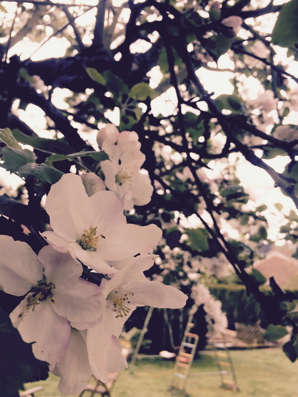 flower, tree, fragility, blossom, beauty in nature, growth, nature, springtime, branch, white color, freshness, petal, apple blossom, orchard, no people, botany, day, focus on foreground, close-up, flower head, outdoors, blooming