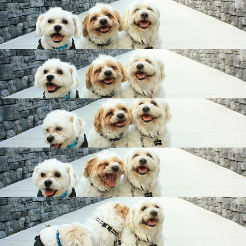 Three Dogs Laughing And Smiling - Smiling Dog ShiTzuForever🐶