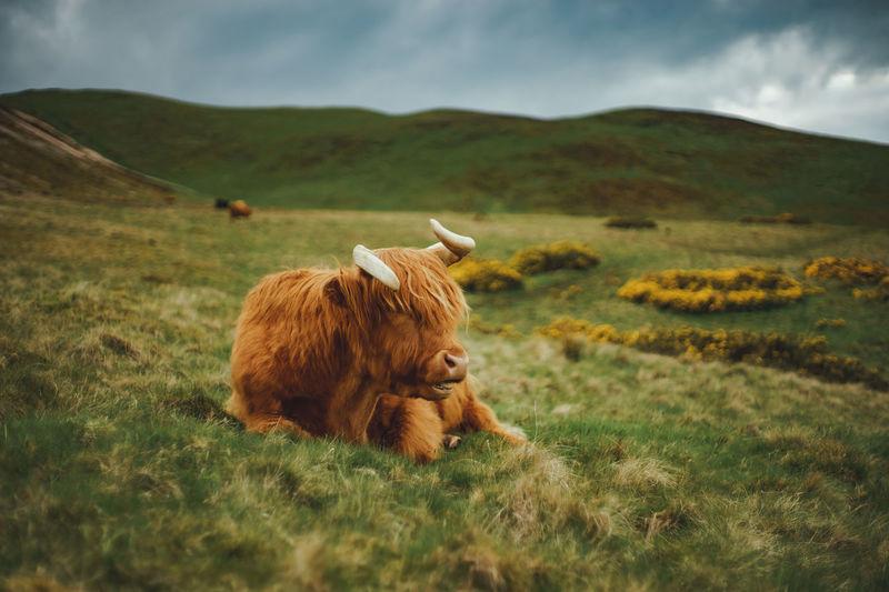 Animal portrait of highland cattle