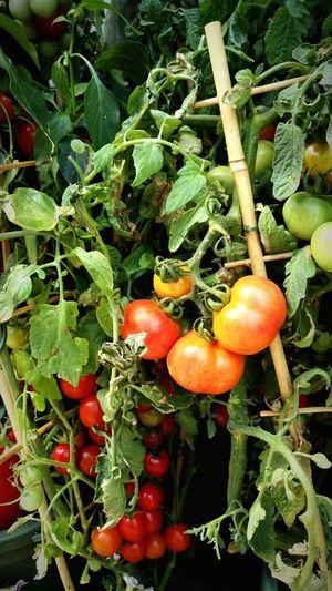 Tomato Plant Pomodorini Senzafiltro Cherry Tomato EyeEm Nature Lover SinFiltros🐞 Huawei Photography HauweiP8camera