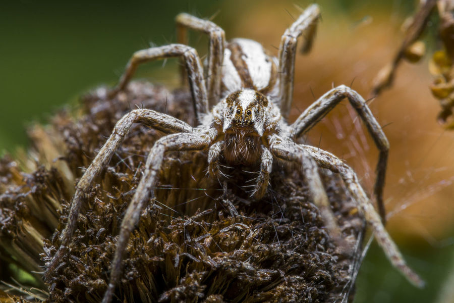 Macro Photography Spider Animal Animal Body Part Animal Eye Animal Leg Animal Themes Animal Wildlife Animals In The Wild Arachnid Arthropod Close-up Dangerous Look Day Focus On Foreground Insect Invertebrate Nature No People One Animal Outdoors Selective Focus Spider Waiting For Prey Zoology
