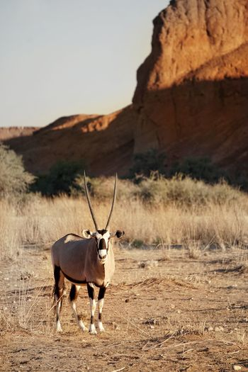 Portrait of oryx standing on field against clear sky