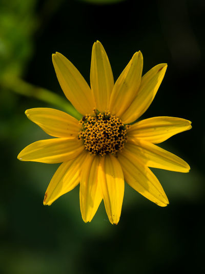 Close-up of yellow cosmos flower blooming outdoors
