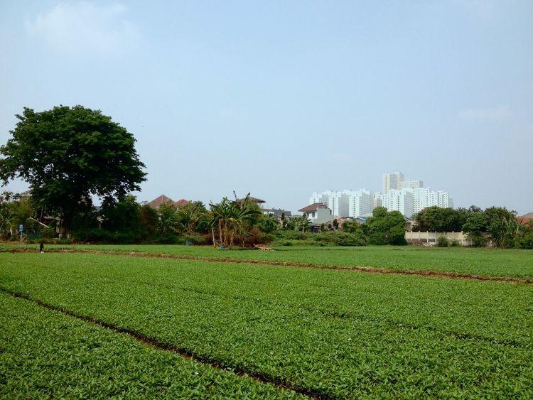 Sawah Kangkung Pohon dan Gedung Hijau Green