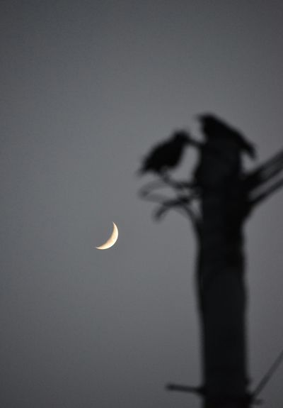 crescent moon & crow… night arrival🌠 Moon Black And White Light Night Getting Inspired Birds Naturelovers Silhouettes