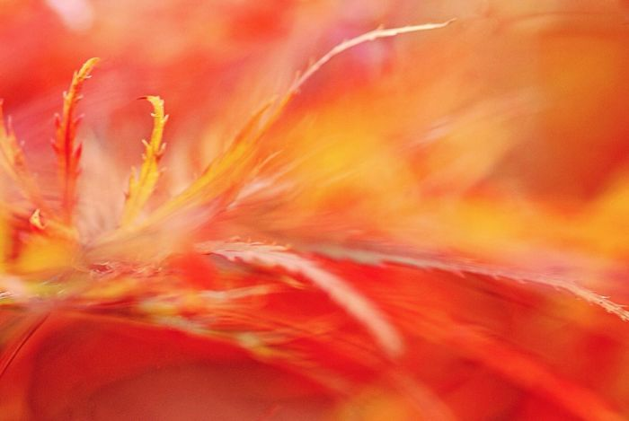 Autumn Fire Autumn Autumn🍁🍁🍁 Autumn Colors Close-up Fall Maple Leaf Flickering Flame Leaves Leaf Fall Leaves Artistic Photo Nature Beauty In Nature No People Abstract Fresh On Eyeem  Fall Colors Leaves_collection
